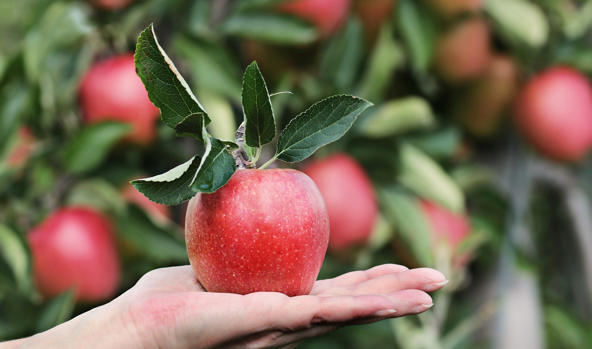 Apple - Alcohol Cravings and Hypoglycaemia