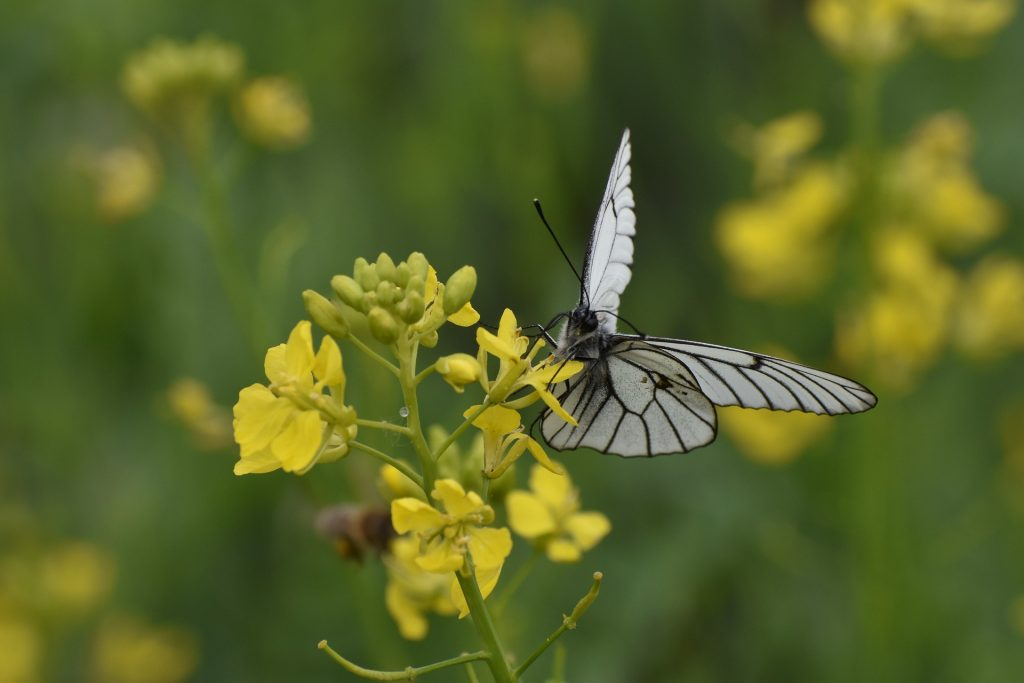 Butterfly on Mustard flower