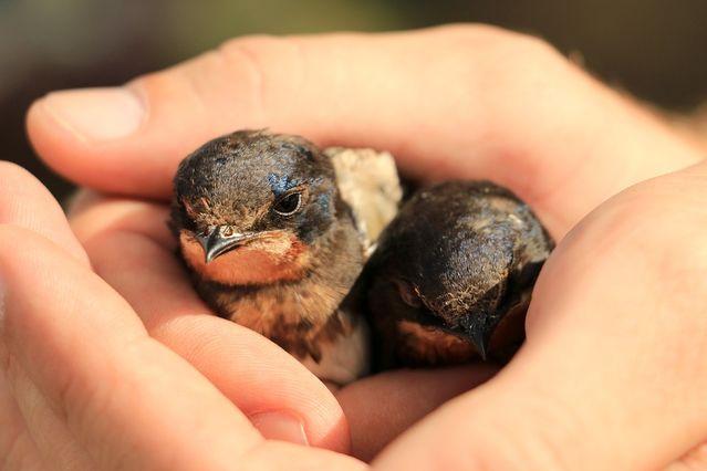 Baby Birds in Hands