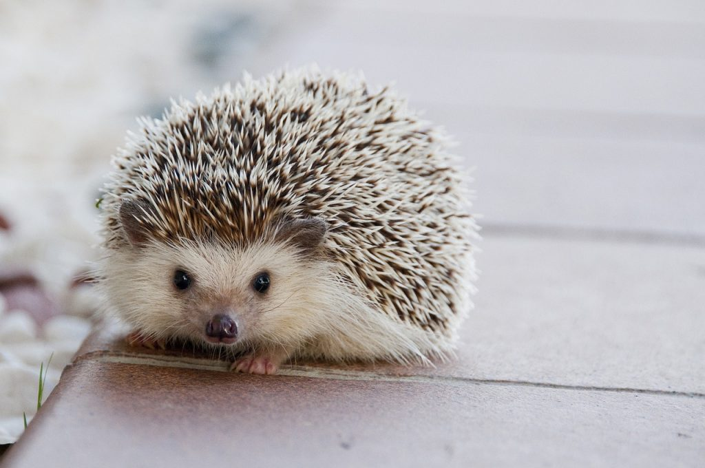 Hedge hog that prickly feeling when you stop drinking