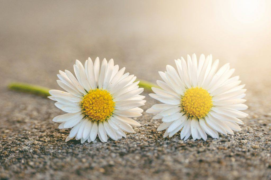 Two daisies Courting My Wild Twin or My Self-Reconciliation in Sobriety
